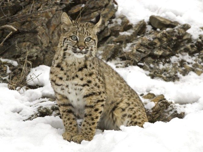 winter_snow__bobcat